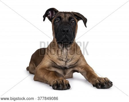 Handsome Boerboel / Malinois Crossbreed Dog, Laying Down Facing Front. Head Up, Looking At Camera Wi