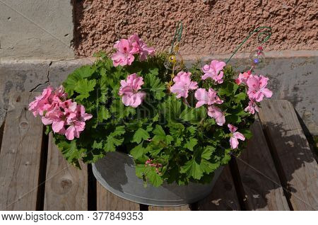 Group Of Vivid Pink Pelargonium Flowers, Known As Geraniums Or Storksbills And Fresh Green Leaves In