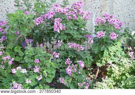 Group Of Vivid Pink Purple Pelargonium Flowers, Known As Geraniums Or Storksbills And Fresh Green Le