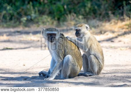 Family Of Vervet Monkey, Chlorocebus Pygerythrus In Chobe National Park, Botswana, Africa Safari Wil