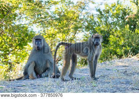 Chacma Baboon Family (papio Anubis) In Chobe, Botswana Africa Safari Wildlife