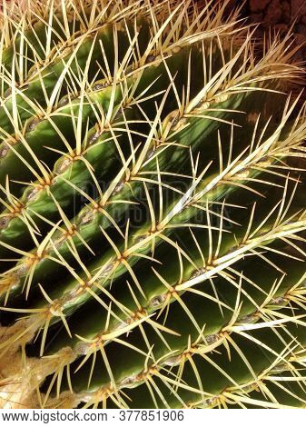 Cactus Plant With Sharp Prick Thorns Dangerous Needles