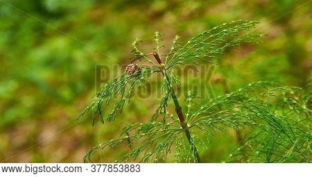 Equisetum Pratense, Meadow Horsetail, Shade Horsetail Or Shady Horsetail, Is A Widespread Horsetail