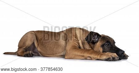 Handsome Boerboel / Malinois Crossbreed Dog, Laying Down Side Ways. Head Down, Looking Ahead With Me