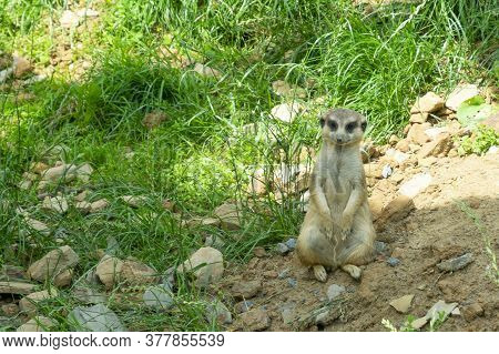 The Meerkat Stands On Its Hind Legs Looking Straight Into The Frame