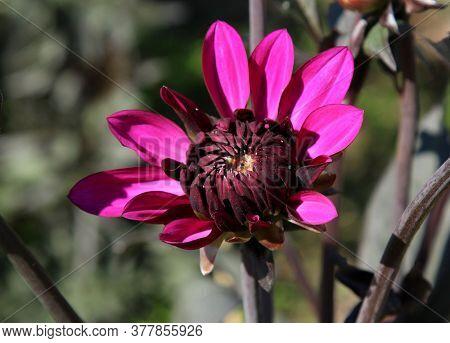 Purple Dahlia Flower Partially Blooming In Summer Garden, Green Brown Background