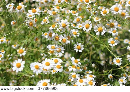 Daisies In The Field. Meadow With Flowers. Oxe-eye Daisies. White Flowers With Yellow