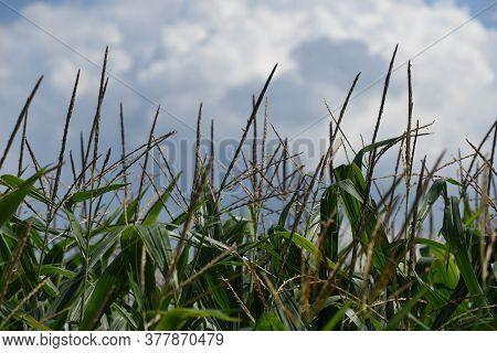 Green Corn Field Or Maize Field, Cloud In The Sky