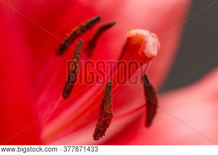 Macro Photo Of A Red Lily. Stamens And Pistils With Pollen Of Red Flowers. Selective Focus.