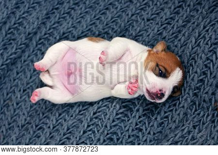 Cute Jack Russell Terrier Puppy Lies On His Back With Open Eyes On A Knitted Gray Bedspread