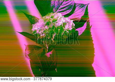 Hydrangea Flowers On Grey With Digital Glitch Effect - Rgb Shift, Slices. Screen Error.