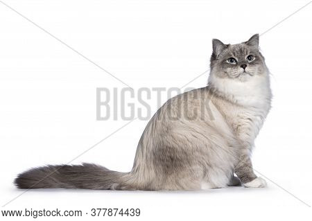 Pretty Neva Masquerade Cat Sitting Side Waysl. Looking Up And Beside Camera With Light Blue Eyes. Is