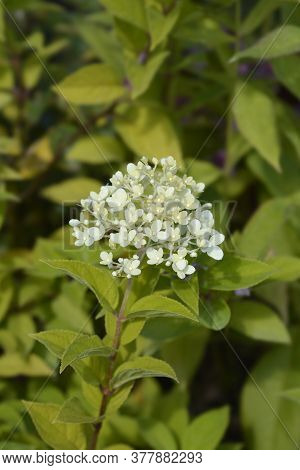 Paniculate Hydrangea - Latin Name - Hydrangea Paniculata