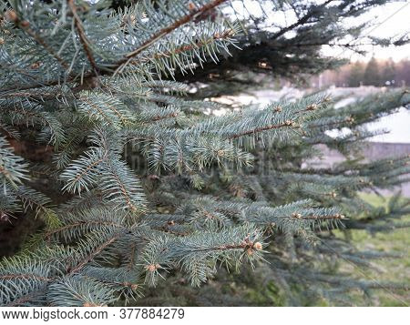 Christmas Blue Fir Tree. Pine Branch Background. Fir-tree Decoration, New Year