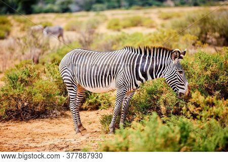 Grevy's zebra in Samburu national reserve in Kenya