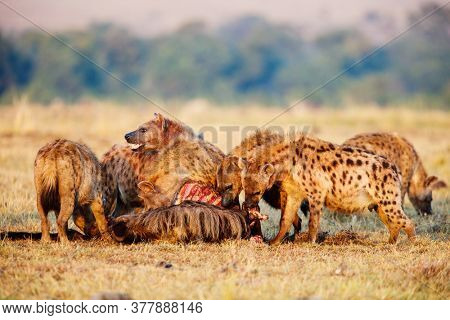 Hyena clan after successful wildebeest hunt in safari park in Kenya