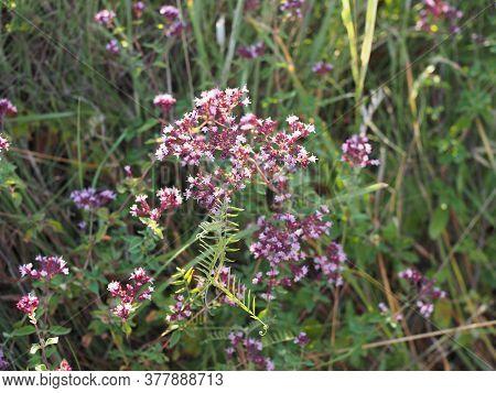 Purple Flowers Of Origanum Vulgare Or Common Oregano, Wild Marjoram. Sunny Day