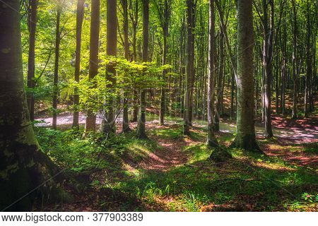 Casentino Secular Forest. Tree Misty Woods Or Beechwood. Tuscany, Italy. Foreste Casentinesi Nationa