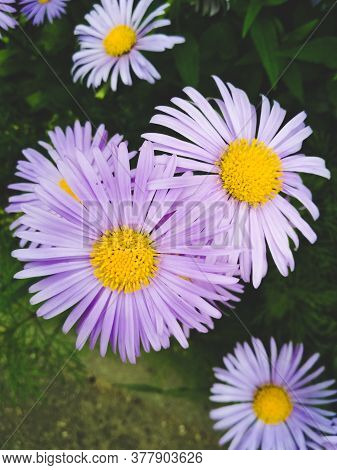 Beautiful Purple Wild Flowers. Summer Nature Background In Soft Colors.
