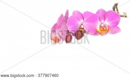 Pink Phalaenopsis Orchid Flower Tropical Garden Isolated On White Background.