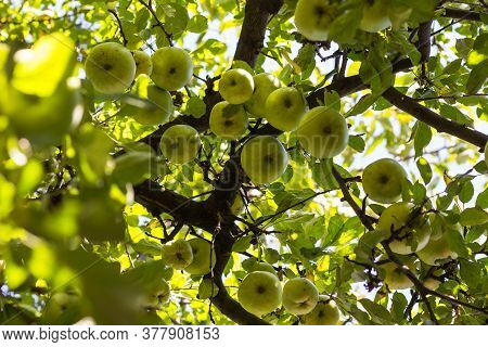 Untreated Ripe Green Apples On A Tree In Orchard. Organic Plantation. Healthy Living Concept.