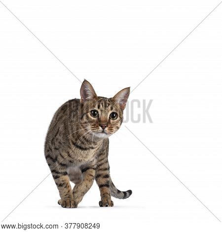 Beautiful Golden Brown Spotted Young Adult Cat, Walking Towards Camera. Looking Focussed Beside Came