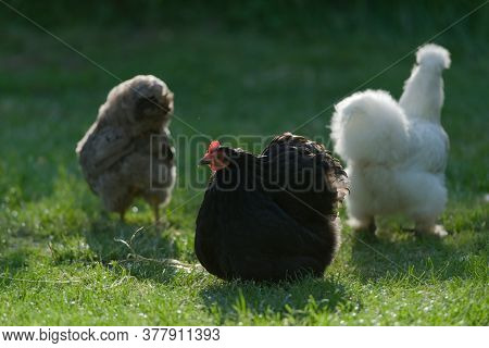 Three Pet Bantam Chickens, With A Small Black Pekin Bantam The Main Subject. Back Lit By Warm Sunlig