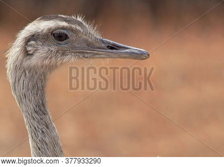 Close-up Of A Greater Rhea's Face On A Blurred Background With Coppery Tones