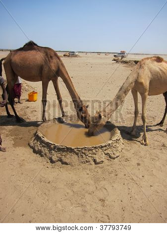 camels drinking from a desert well