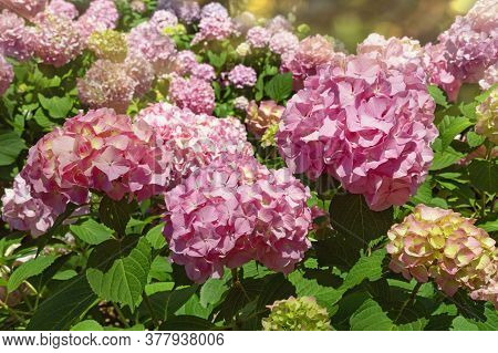 Pink Flowers Of Hydrangea  (  Hydrangea Macrophylla ) In  Garden