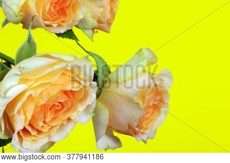 Orange Roses Isolated On A Yellow Background. Copy Space. Postcard. Place For Text. Gardening.