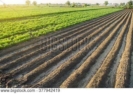 Landscape Of A Farm Plantation Field. Juicy Greens Of Potato And Carrot Tops. European Organic Farmi