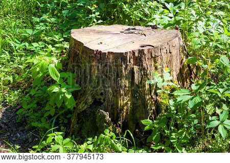 Stump In The Grass In A Forest Glade. Felled Old Trees In The Forest. Planned Deforestation.