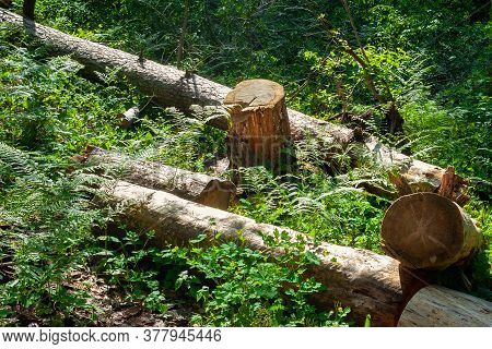 A Pile Of Logs Piled In A Forest Clearing. Felled Trees In The Forest. Planned Deforestation.