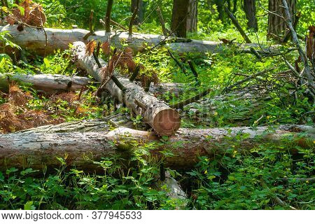 Logs Are Dumped In A Forest Glade. Felled Trees In The Forest. Planned Deforestation.