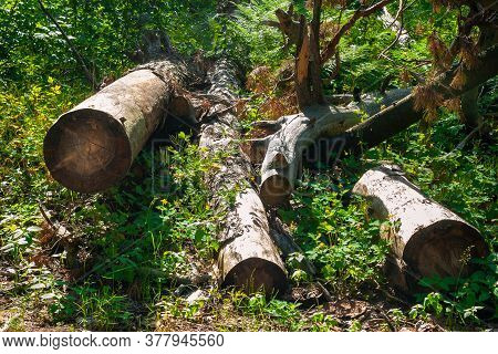 Logs Piled In A Forest Clearing. Felled Trees In The Forest. Planned Deforestation.