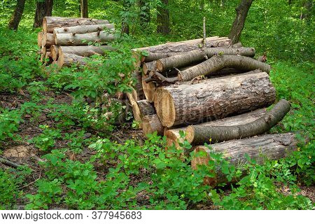 Logs In A Forest Glade. Felled Trees In The Forest. Planned Deforestation.