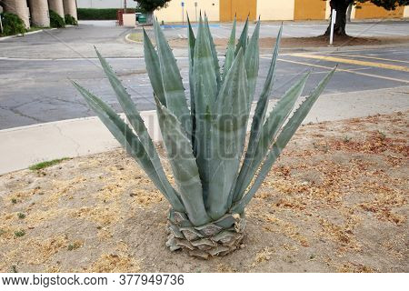 Agave plant. Agave plant is a tropical drought tolerance plant that has sharp thorns. Agaves are a type of succulent plant from Mexico and the southwestern parts of the United States.