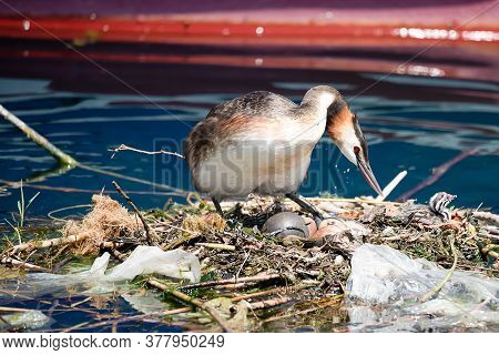 Podiceps Cristatus With Nest And Eggs. Breeding Great Crested Grebe Surrounded By Plastic Litter At