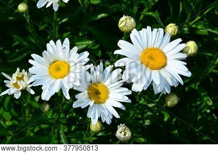 Chamomile Flowers On A Summer Day Against A Background Of Dense Greenery.