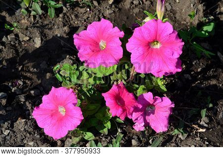 Bright Pink Petunia Flowers In Clear Sunny Weather.