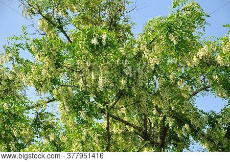 A Dense Crown Of White Acacia Sways In The Wind.