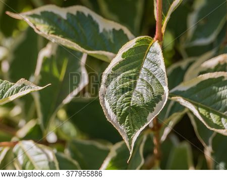 Leaf Of Weigela Florida Variegata Plant Close Up View In Natural Sunlight