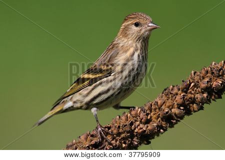 Pine Siskin (Carduelis pinus) perched with a green background poster