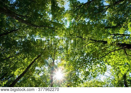 Green Luxuriant Forest Canopy Overhead Converging Skyward