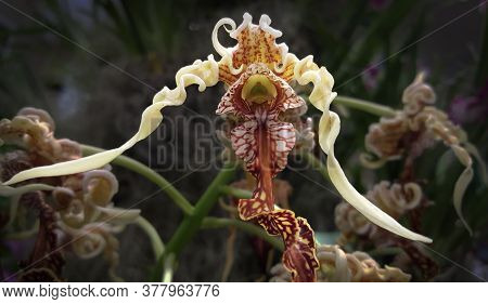 The Amazing Shape And Color Patterns Of A Unique Ladyslipper Orchid Flower.