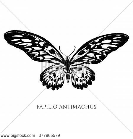 Vector Set Of Hand Drawn Black And White African Giant Swallowtail Stock Illustration