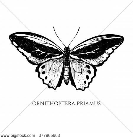 Vector Set Of Hand Drawn Black And White Common Green Birdwing Stock Illustration