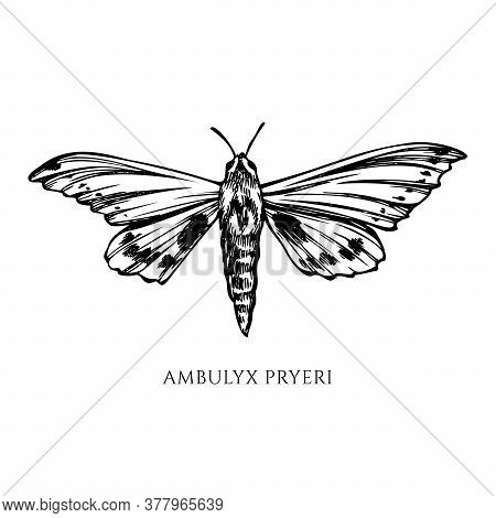 Vector Set Of Hand Drawn Black And White Ambulyx Moth Stock Illustration