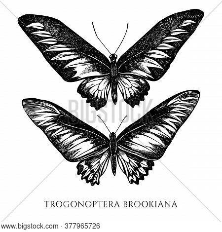 Vector Set Of Hand Drawn Black And White Rajah Brookes Birdwing Stock Illustration